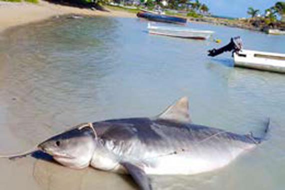 Les pêcheurs : Sébastien, Ovila, Philippe, Olivier et Benoît ont à plusieurs reprises côtoyé les requins Boule-Dogue et les requins tigres ces derniers temps.